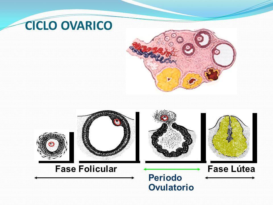 CICLO OVARICO Fase Folicular Fase Lútea Periodo Ovulatorio