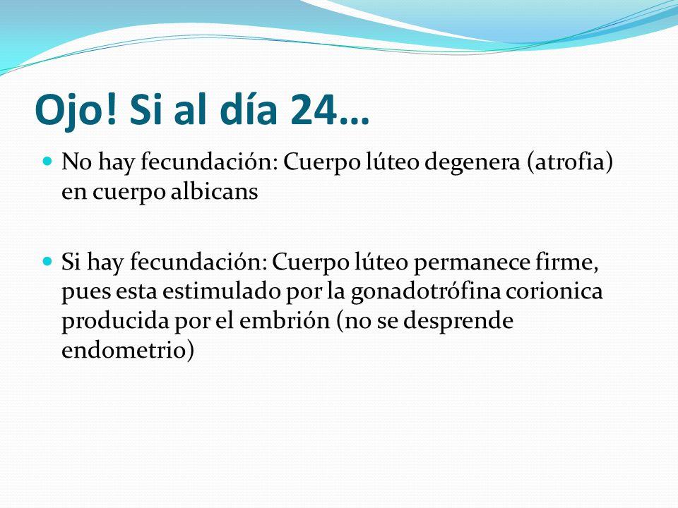Ojo! Si al día 24… No hay fecundación: Cuerpo lúteo degenera (atrofia) en cuerpo albicans.