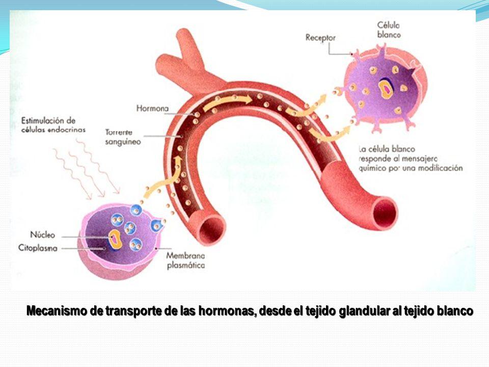 Mecanismo de transporte de las hormonas, desde el tejido glandular al tejido blanco