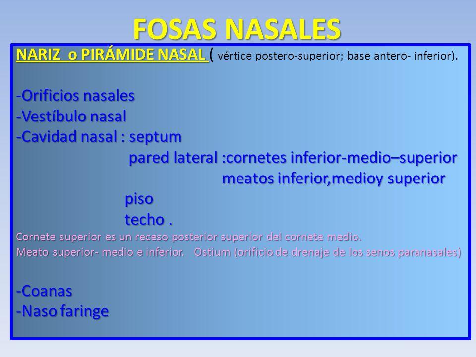 Taller de destrezas en semiolog a aparato respiratorio for Pared lateral de la cavidad nasal
