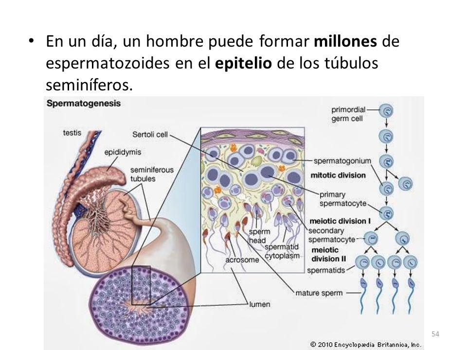 En un día, un hombre puede formar millones de espermatozoides en el epitelio de los túbulos seminíferos.