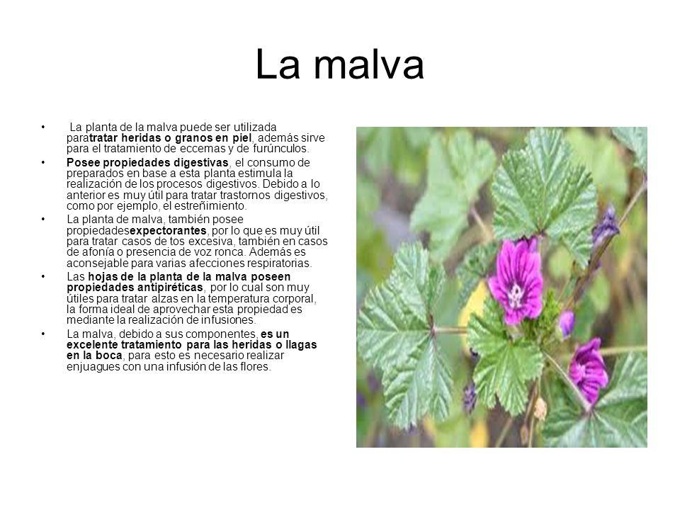 Plantas medicinales y sus propiedades ppt descargar - Infusion de malva ...