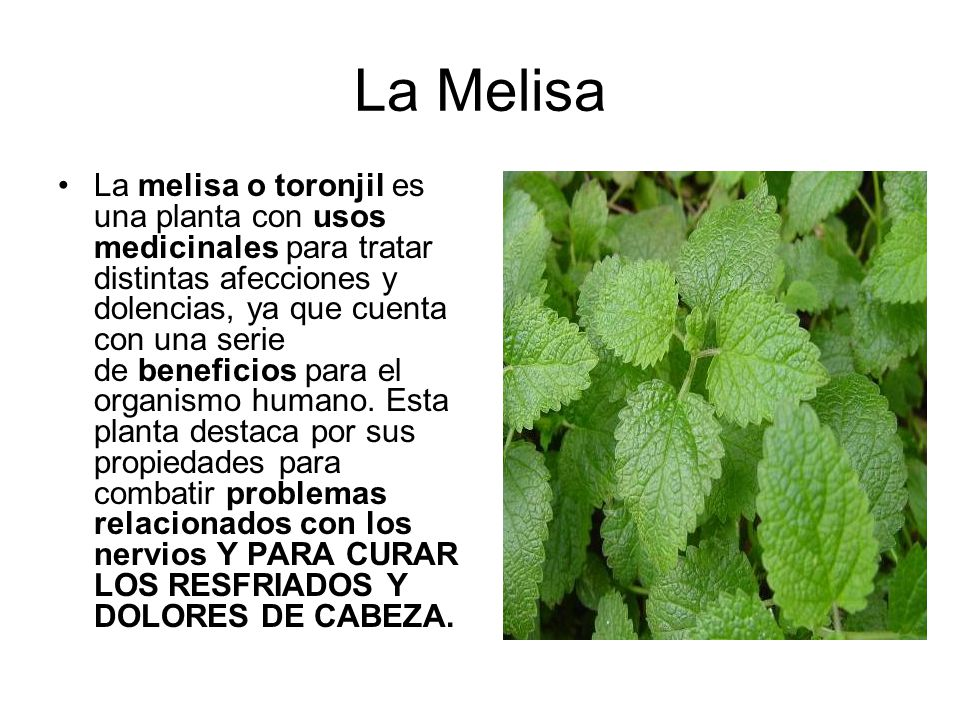 Plantas medicinales y sus propiedades ppt descargar - Planta de melisa ...