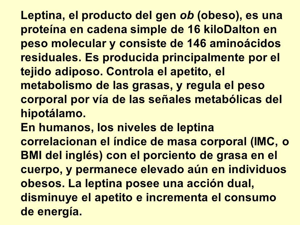 Leptina, el producto del gen ob (obeso), es una proteína en cadena simple de 16 kiloDalton en peso molecular y consiste de 146 aminoácidos residuales. Es producida principalmente por el tejido adiposo. Controla el apetito, el metabolismo de las grasas, y regula el peso corporal por vía de las señales metabólicas del hipotálamo. En humanos, los niveles de leptina correlacionan el índice de masa corporal (IMC, o BMI del inglés) con el porciento de grasa en el cuerpo, y permanece elevado aún en individuos obesos. La leptina posee una acción dual, disminuye el apetito e incrementa el consumo de energía.