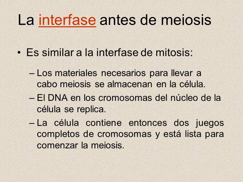 La interfase antes de meiosis