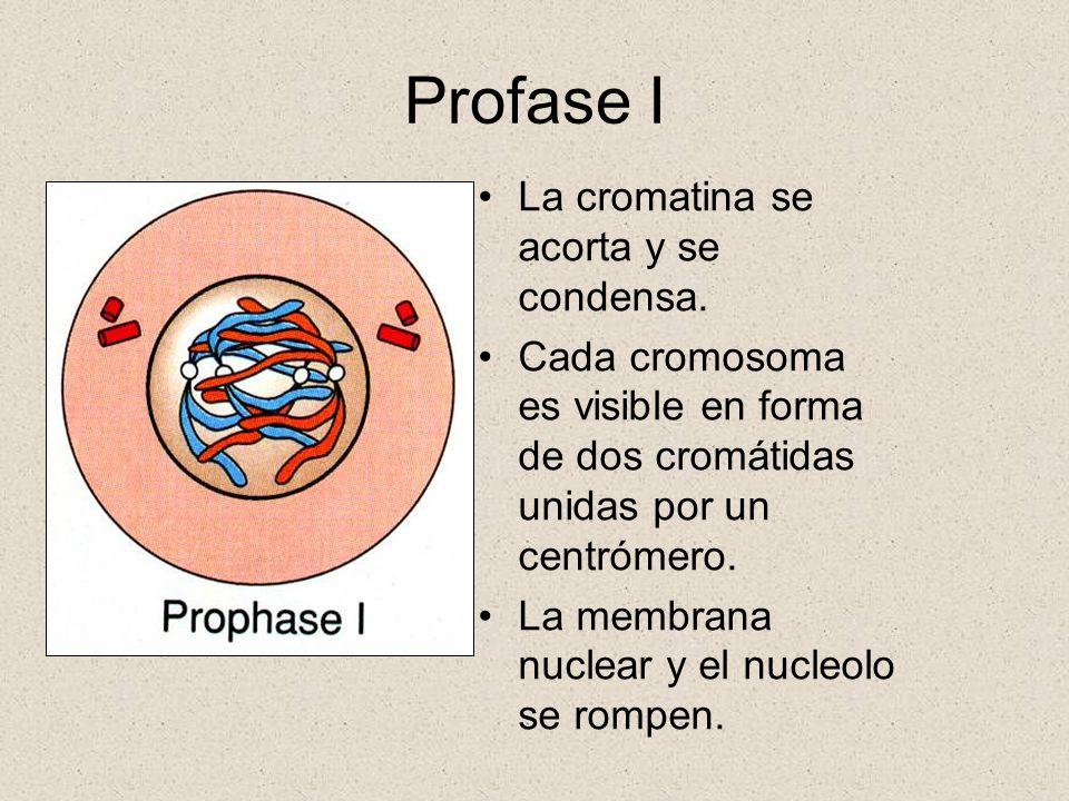 Profase I La cromatina se acorta y se condensa.