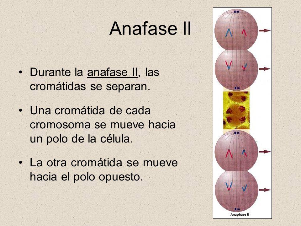 Anafase II Durante la anafase II, las cromátidas se separan.