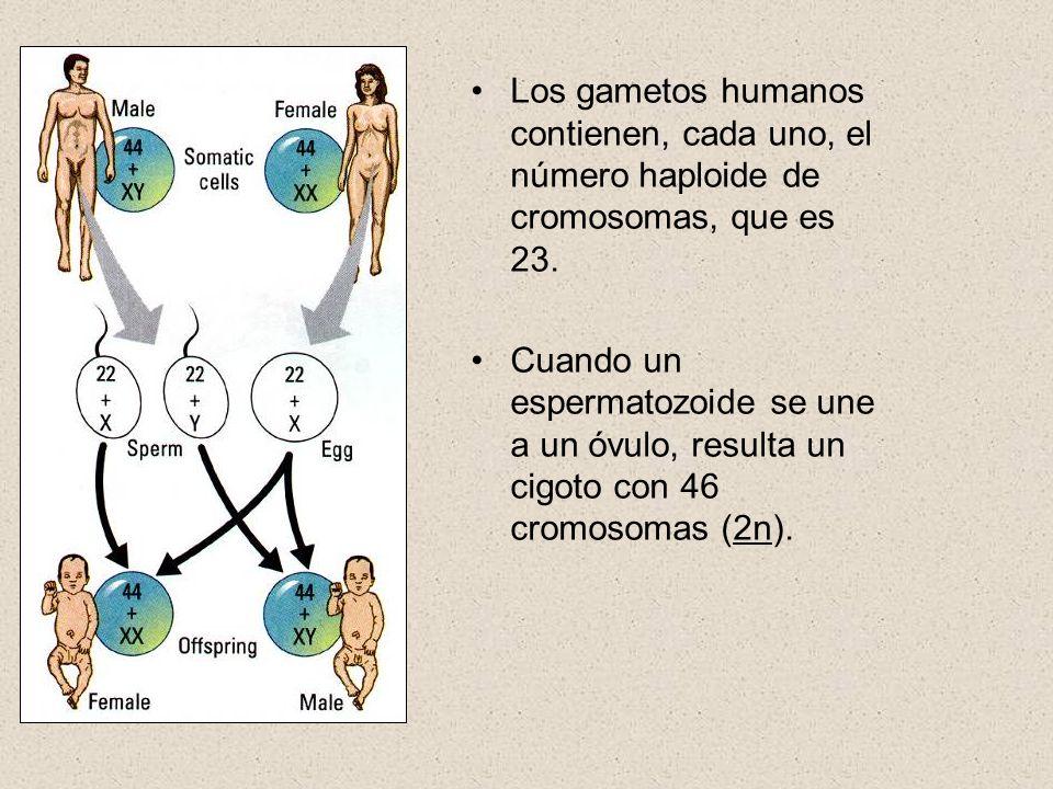 Los gametos humanos contienen, cada uno, el número haploide de cromosomas, que es 23.