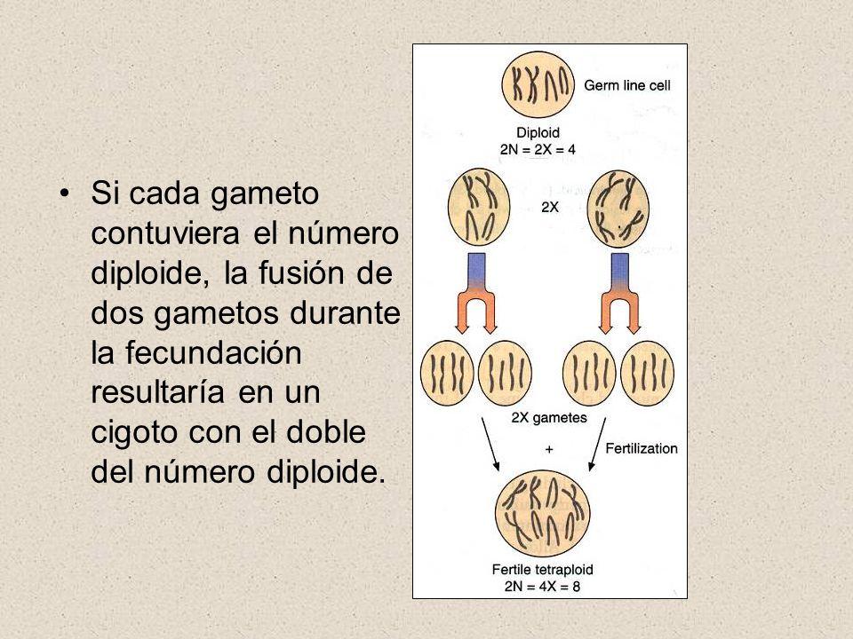 Si cada gameto contuviera el número diploide, la fusión de dos gametos durante la fecundación resultaría en un cigoto con el doble del número diploide.