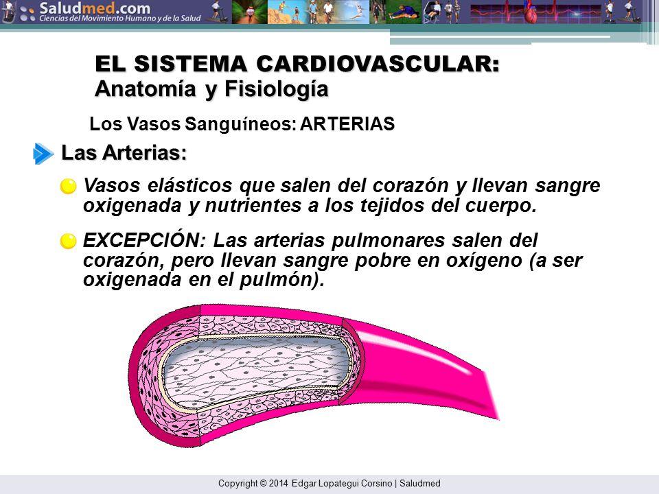 Vistoso Anatomía Y Fisiología De Los Vasos Sanguíneos Elaboración ...