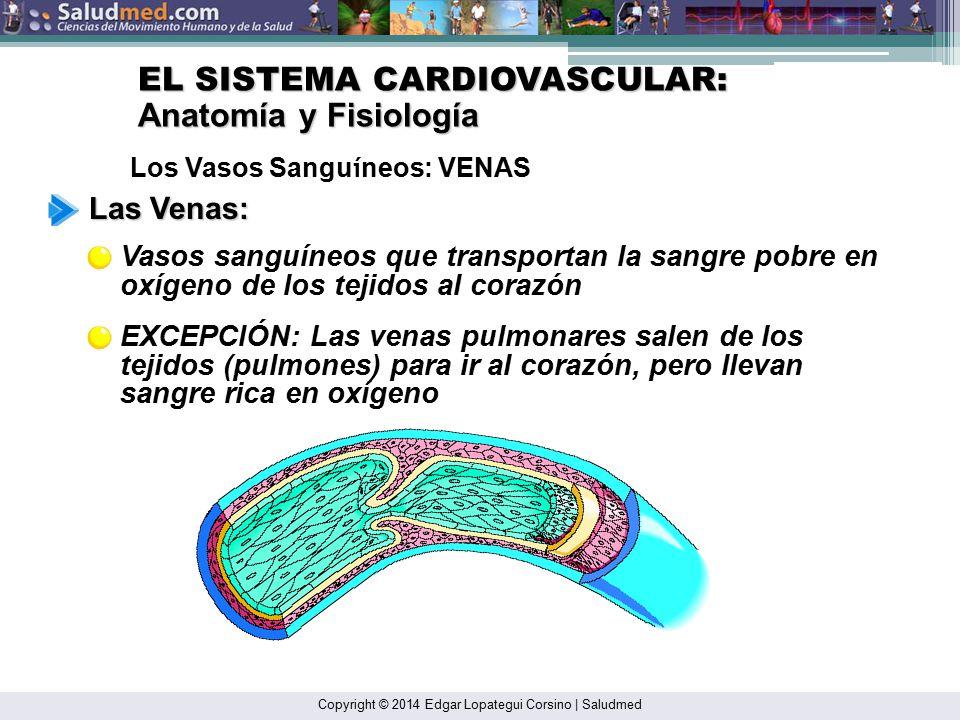Moderno Anatomía Y Fisiología De Los Vasos Sanguíneos ...