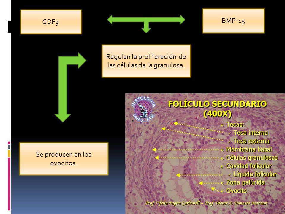 Regulan la proliferación de las células de la granulosa.
