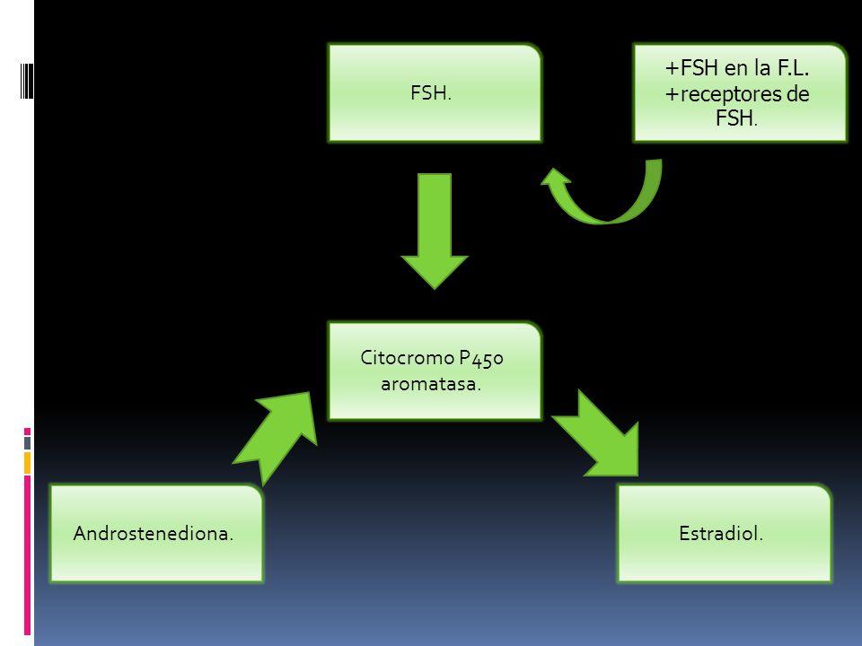 +FSH en la F.L. +receptores de FSH.