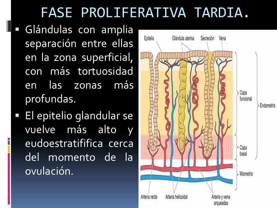 FASE PROLIFERATIVA TARDIA.