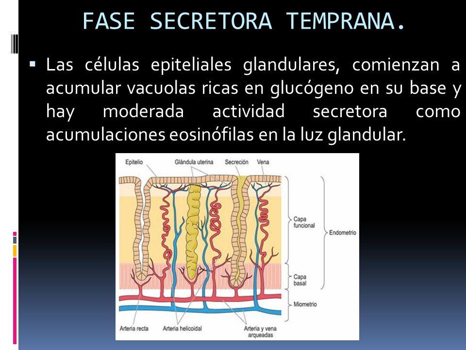 FASE SECRETORA TEMPRANA.