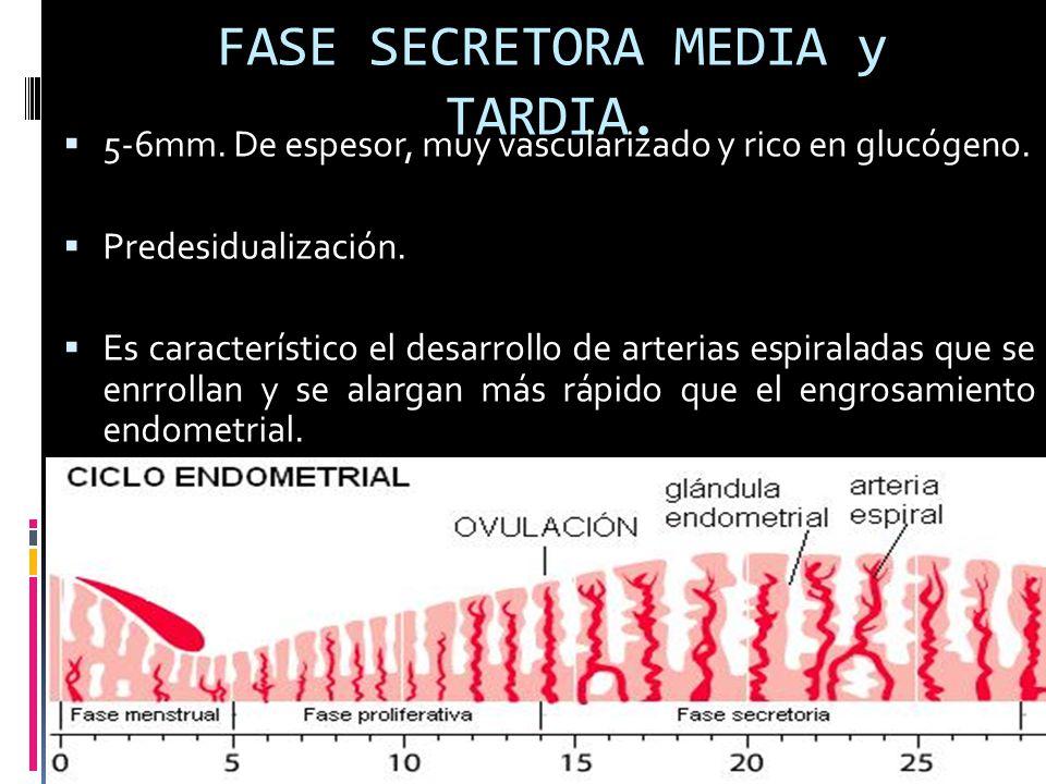 FASE SECRETORA MEDIA y TARDIA.