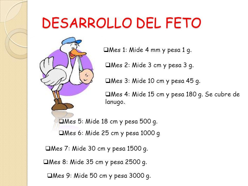 DESARROLLO DEL FETO Mes 1: Mide 4 mm y pesa 1 g.