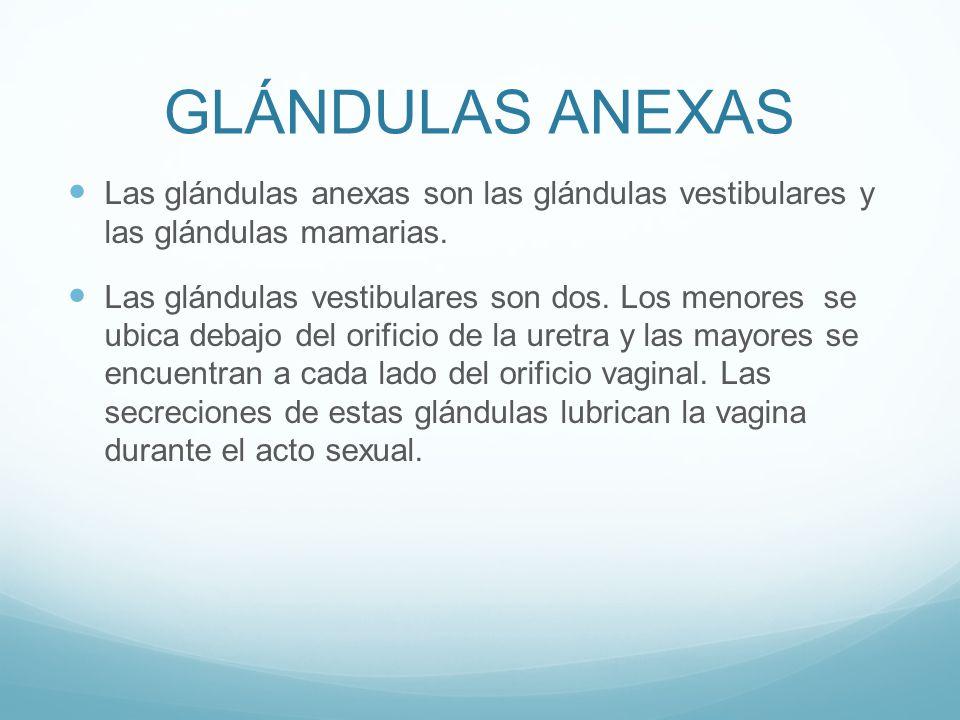 GLÁNDULAS ANEXAS Las glándulas anexas son las glándulas vestibulares y las glándulas mamarias.