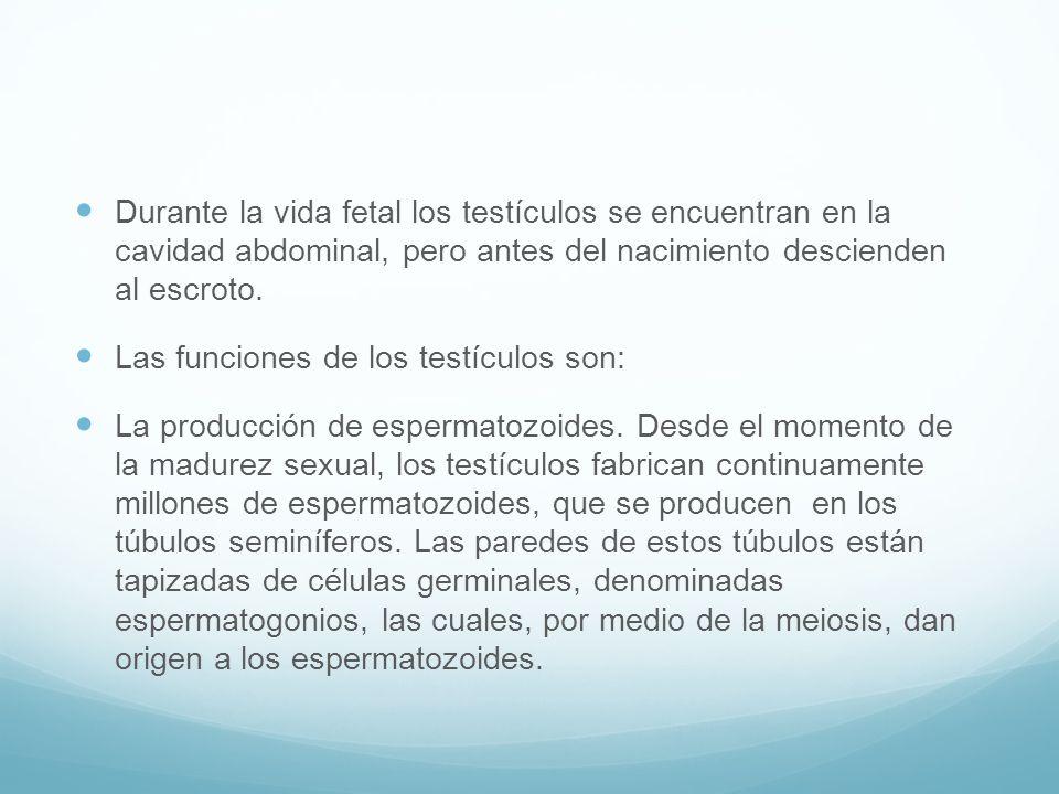 Durante la vida fetal los testículos se encuentran en la cavidad abdominal, pero antes del nacimiento descienden al escroto.