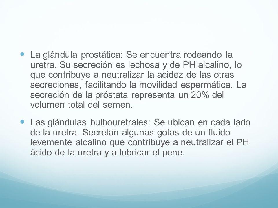 La glándula prostática: Se encuentra rodeando la uretra