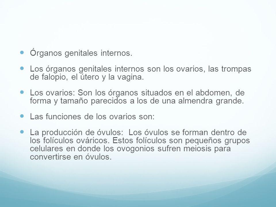 Órganos genitales internos.