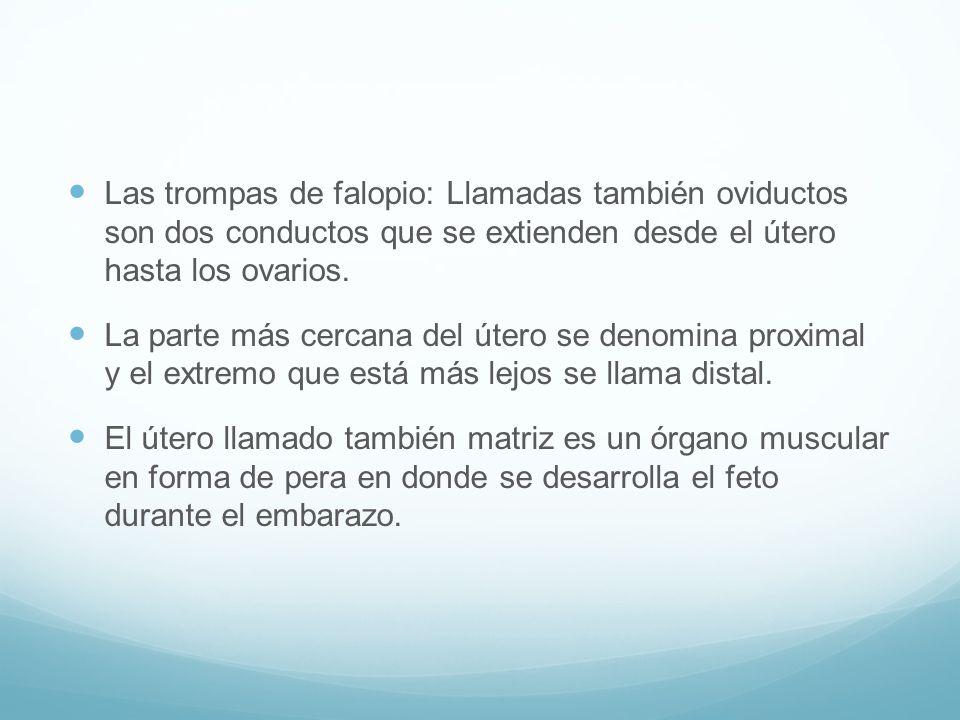 Las trompas de falopio: Llamadas también oviductos son dos conductos que se extienden desde el útero hasta los ovarios.
