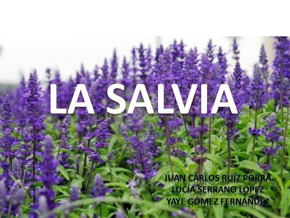 LA SALVIA JUAN CARLOS RUÍZ PORRA LUCíA SERRANO LÓPEZ