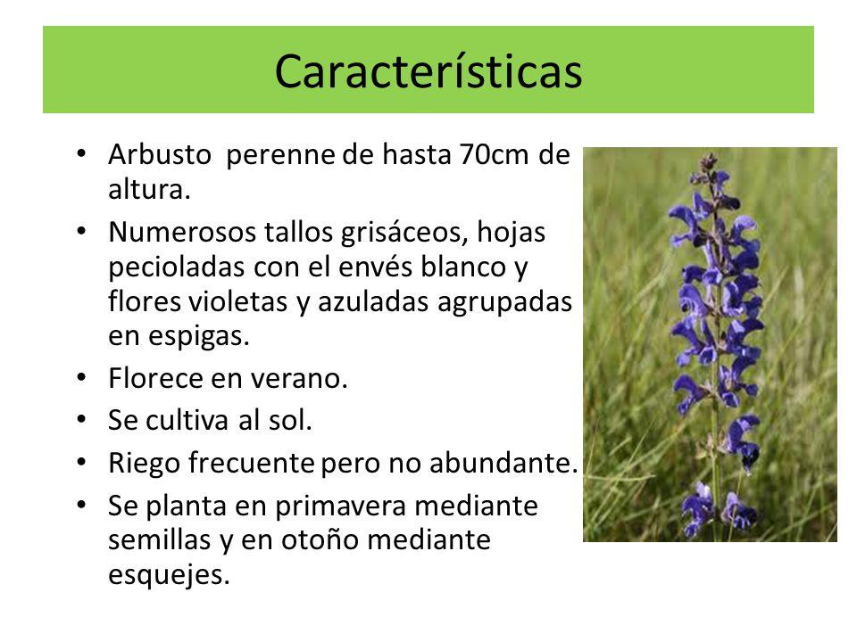 Características Arbusto perenne de hasta 70cm de altura.