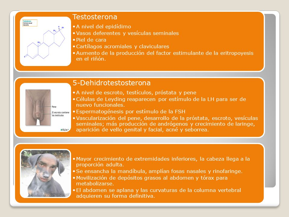 Testosterona A nivel del epidídimo. Vasos deferentes y vesículas seminales. Piel de cara. Cartílagos acromiales y claviculares.