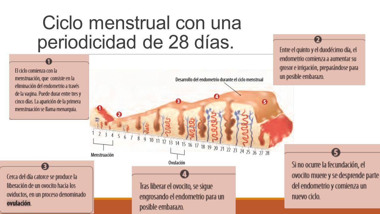 Ciclo menstrual con una periodicidad de 28 días.