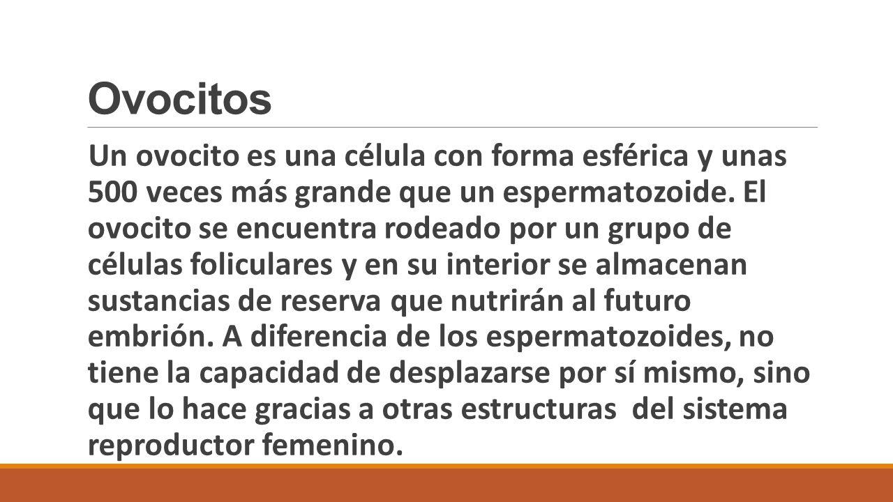 Ovocitos
