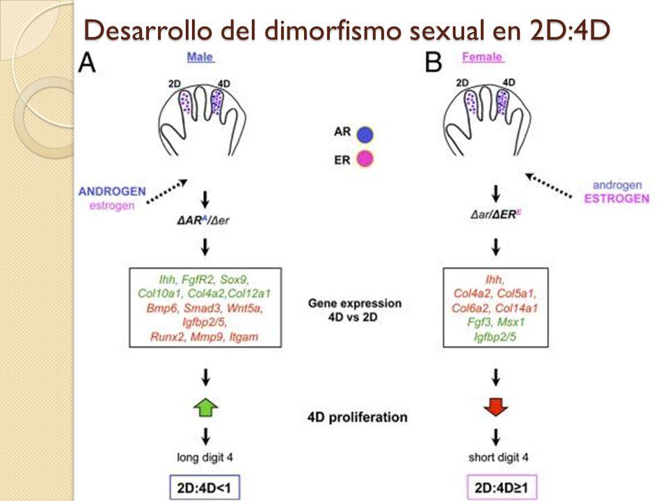Desarrollo del dimorfismo sexual en 2D:4D