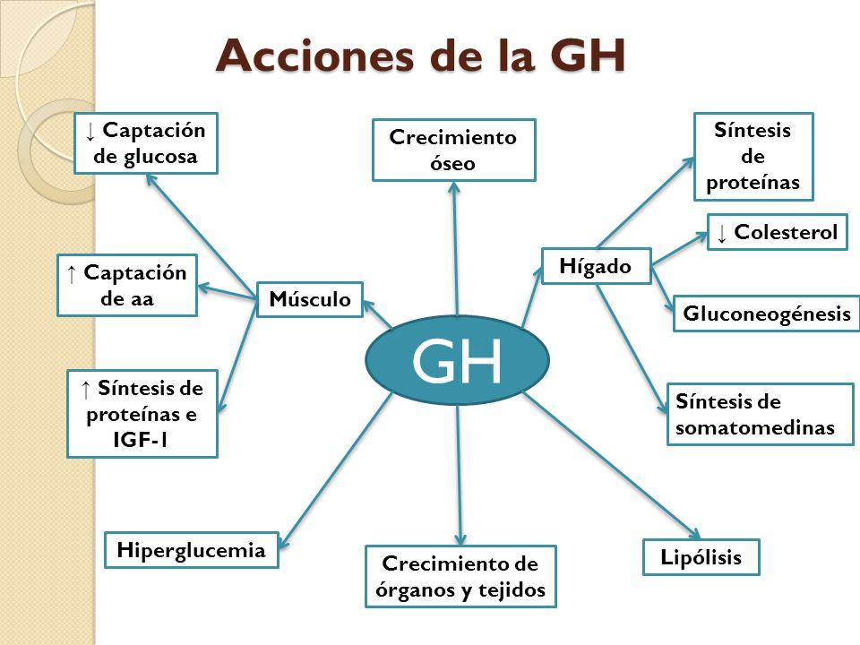Crecimiento de órganos y tejidos ↑ Síntesis de proteínas e IGF-1