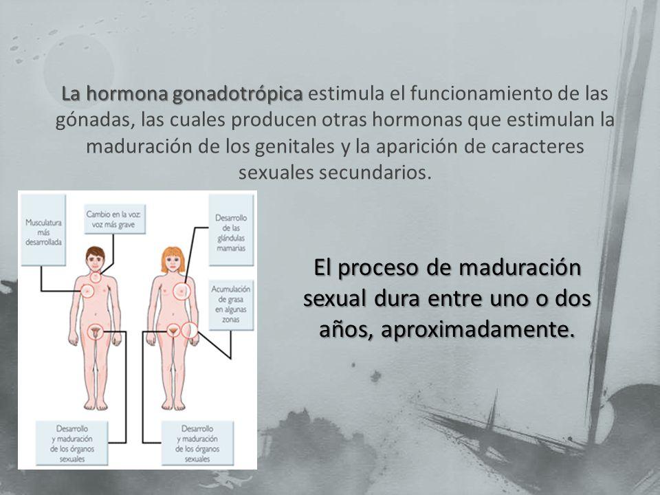 La hormona gonadotrópica estimula el funcionamiento de las gónadas, las cuales producen otras hormonas que estimulan la maduración de los genitales y la aparición de caracteres sexuales secundarios.