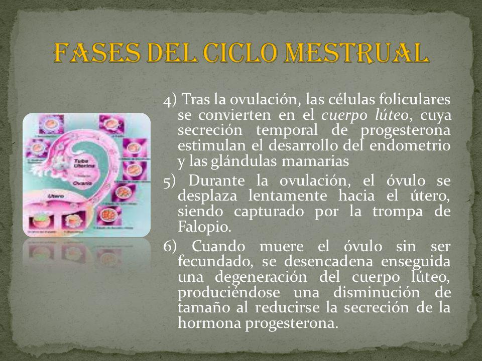 FASES DEL CICLO MESTRUAL