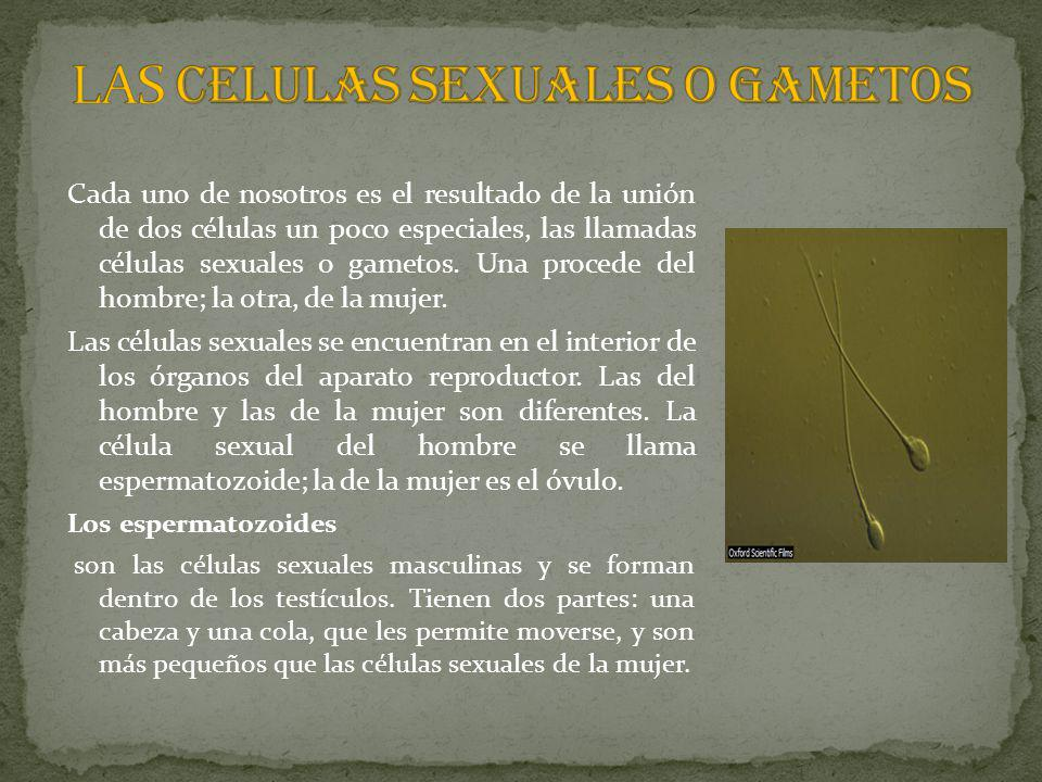 LAS CELULAS SEXUALES O GAMETOS