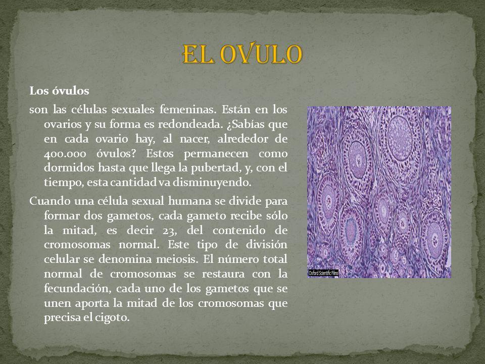 EL OVULO Los óvulos.
