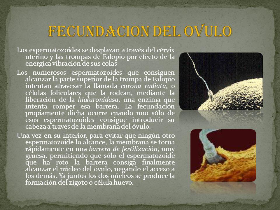 FECUNDACION DEL OVULO