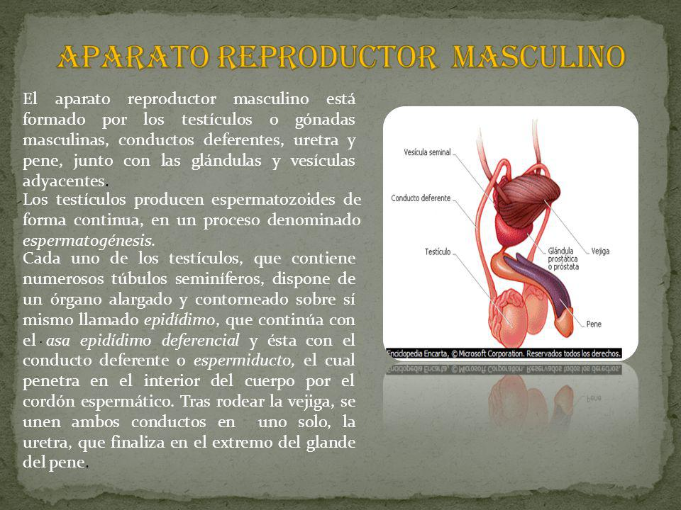 APARATO REPRODUCTOR MASCULINO