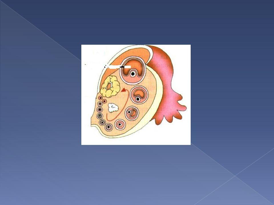Maduración del óvulo. OVULACIÓN: día 14. El óvulo sale a las trompas de Falopio. La cavidad folicular forma el CUERPO LÚTEO, que degenera.