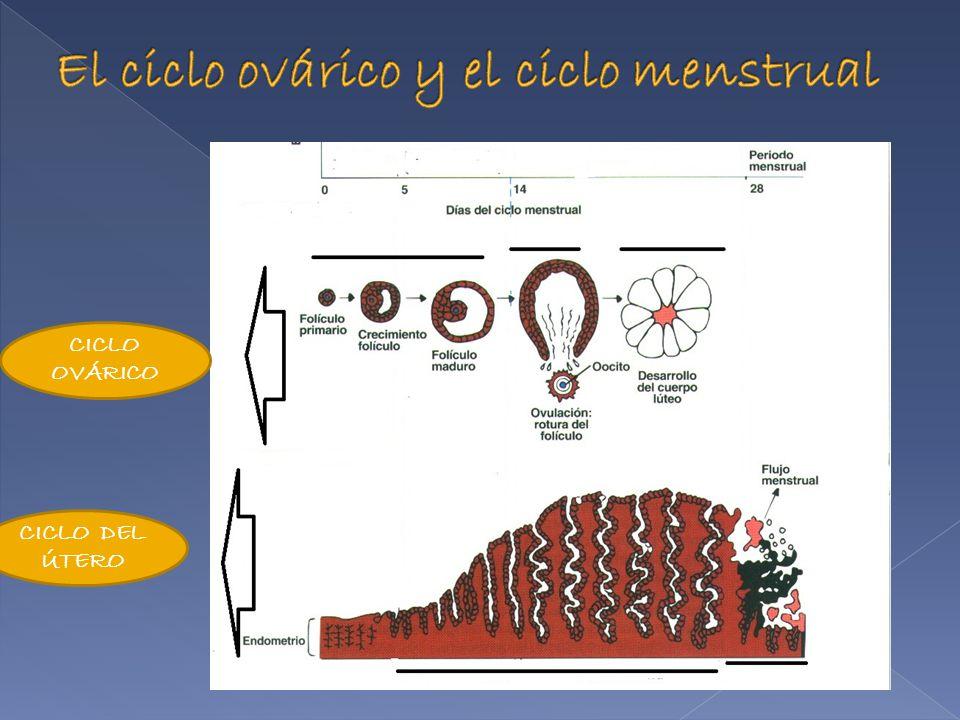 El ciclo ovárico y el ciclo menstrual