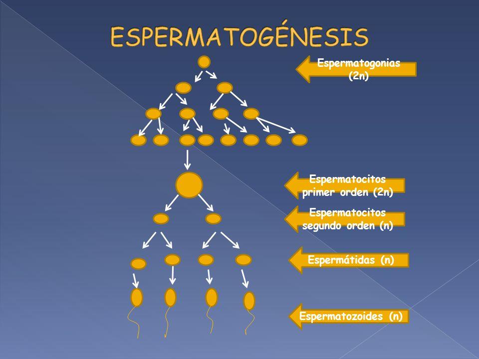 Espermatocitos primer orden (2n) Espermatocitos segundo orden (n)