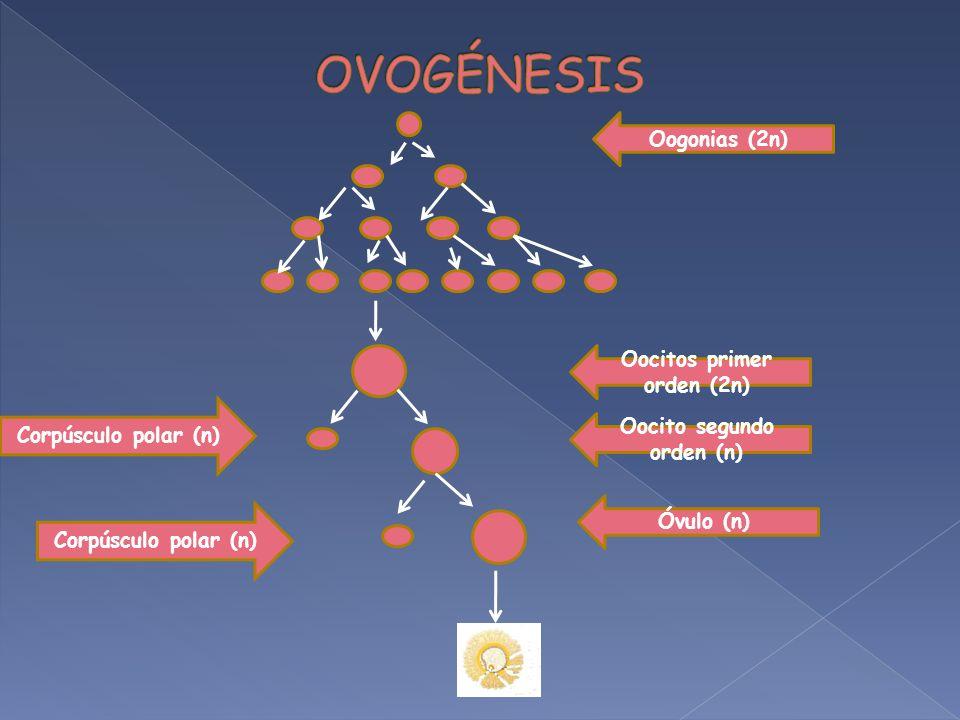 Oocitos primer orden (2n) Oocito segundo orden (n)