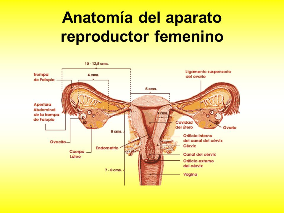 Hermosa Anatomía Del Ovario Patrón - Imágenes de Anatomía Humana ...