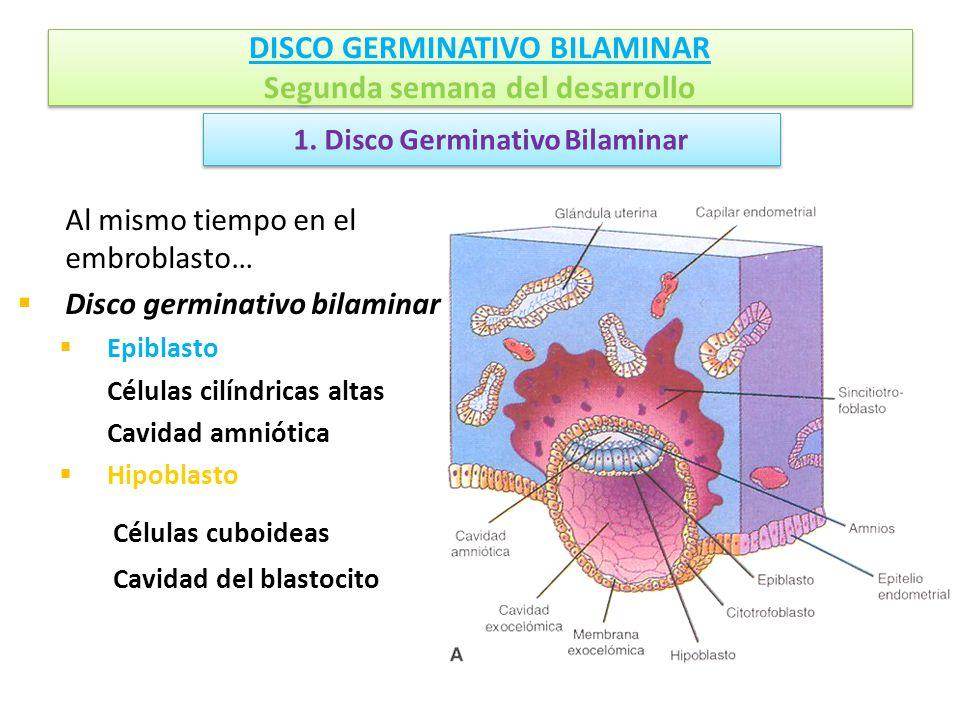 DISCO GERMINATIVO BILAMINAR Segunda semana del desarrollo