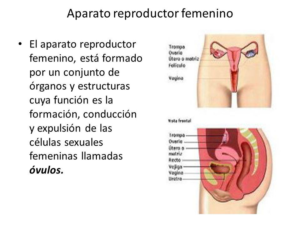 Aparato reproductor femenino - ppt video online descargar