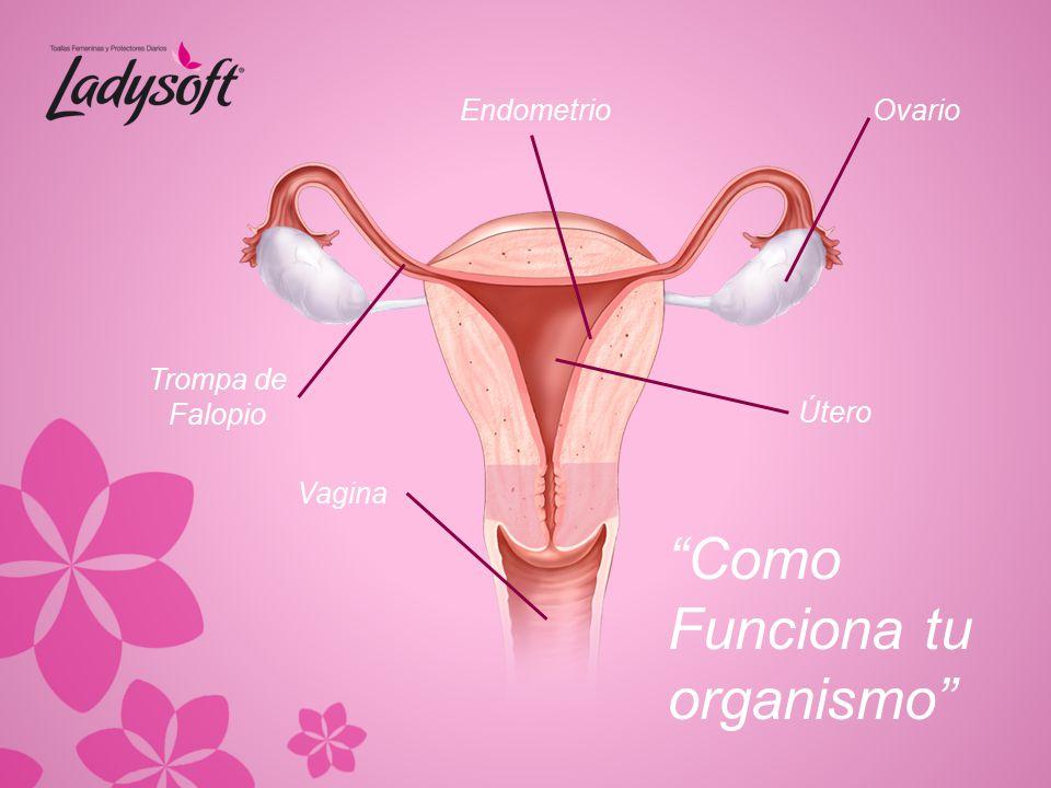 Como Funciona tu organismo Endometrio Ovario Trompa de Falopio Útero