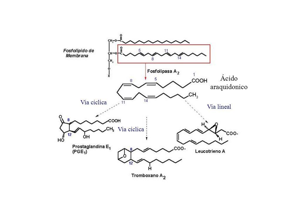 Ácido araquidonico Via ciclica Via lineal Via ciclica