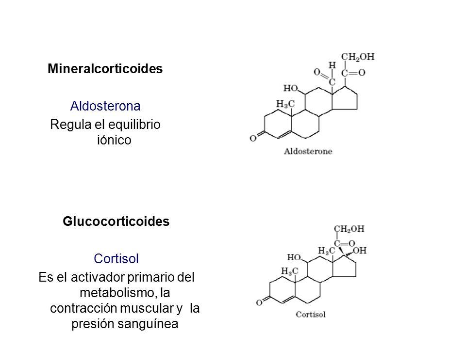 Mineralcorticoides Aldosterona Regula el equilibrio iónico
