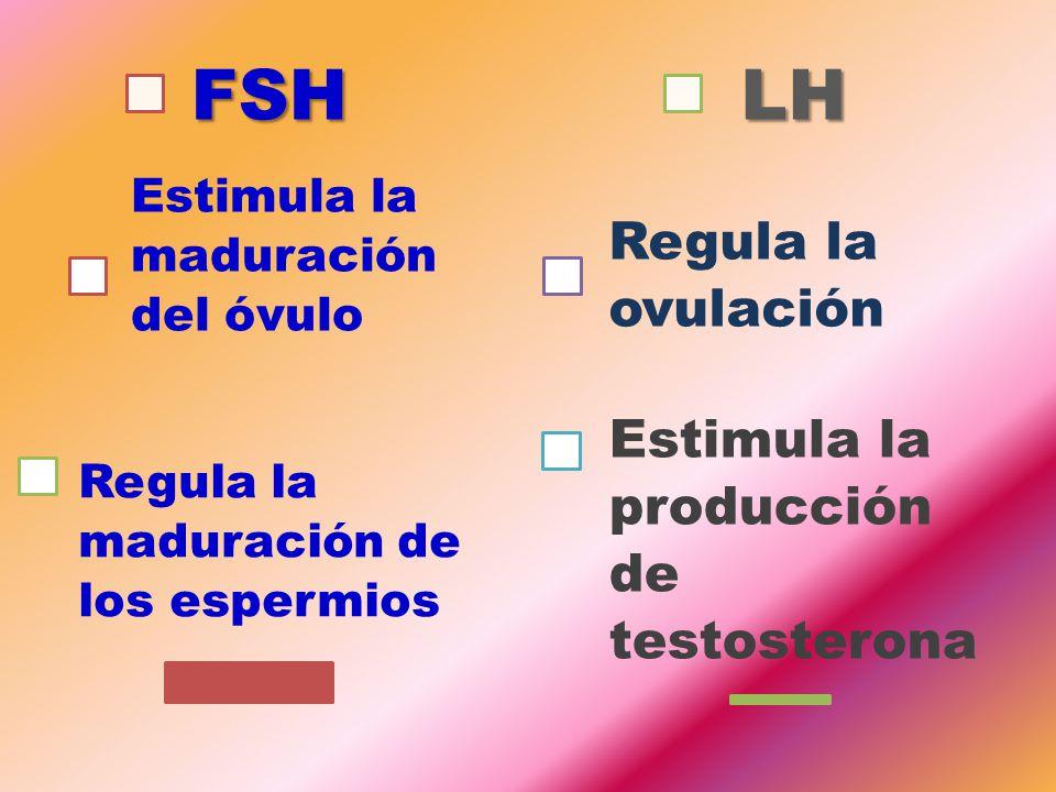 FSH LH Regula la ovulación Estimula la producción de testosterona